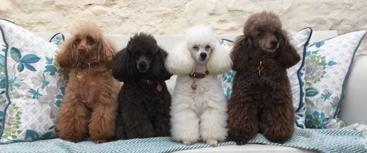 22 Poodle Haircuts Your Pets Will Definitely Love