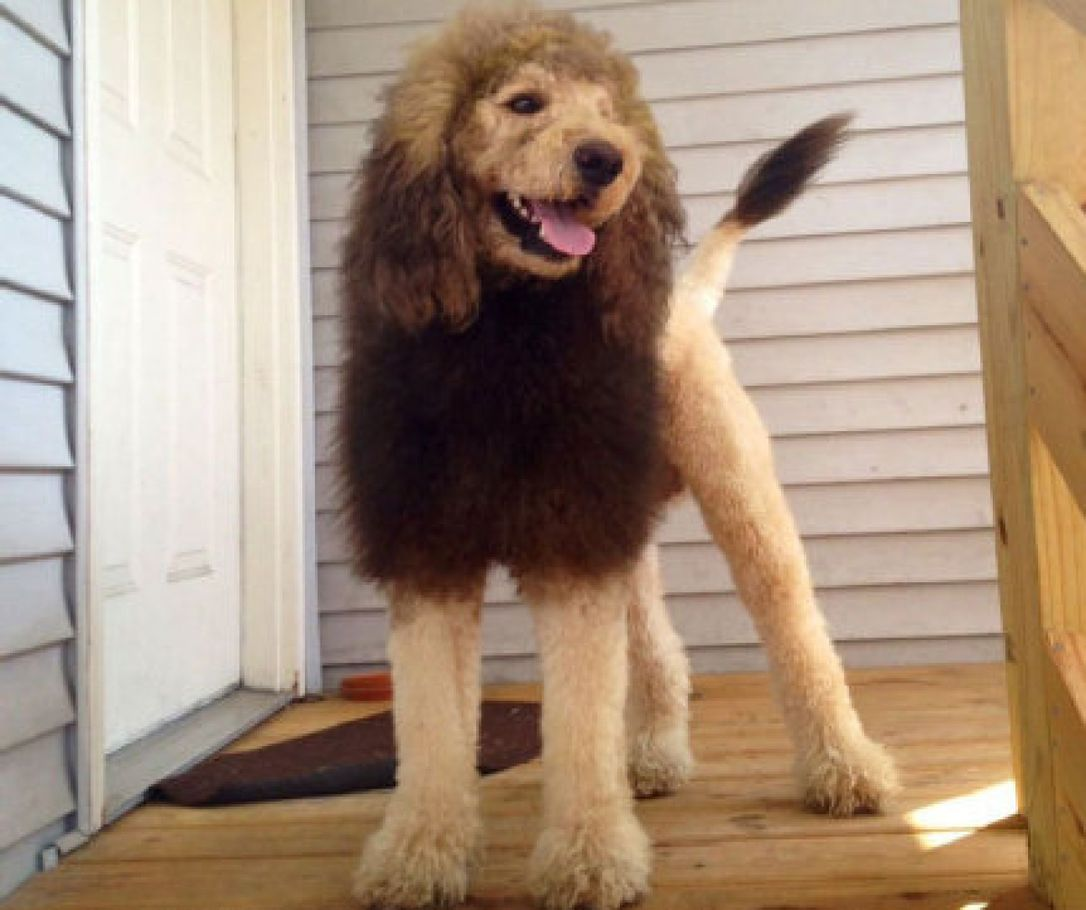 Lion hairstyle