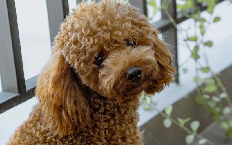 dog Curly full haircut