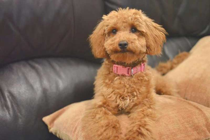 mini poodle haircut