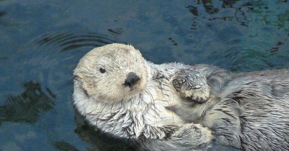 Otters as Pets