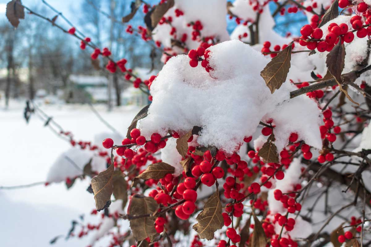 Winterberry-Bush